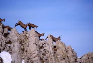 Parco nazionale del Gran Sasso, camosci appenninici