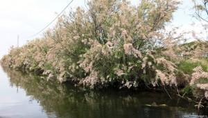 Riserva Naturale Salina di Cervia, tamarici lungo il canale circondariale