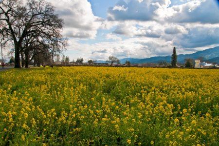 Spring mustard fields in Sonoma. By Ruben Briseno Reveles
