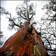 Red gum trees tower in a parched billabong near Swan Hill. According to the Commonwealth Scientific and Industrial Research Organization (CSIRO), drought and climate change are threatening the future of these iconic Australian trees. Use left and right arrows to scroll through all images.