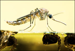 mosquito mosquitoes bolivia dengue fever epidemic outbreak water-borne disease