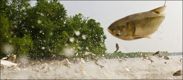 Jumping Asian Carp