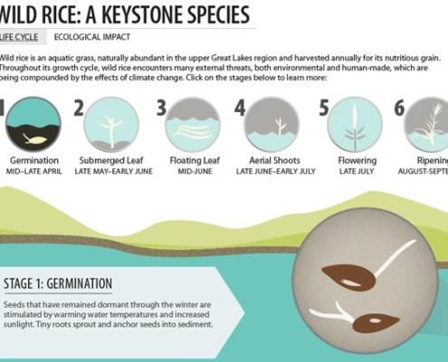 Infographic: Wild Rice