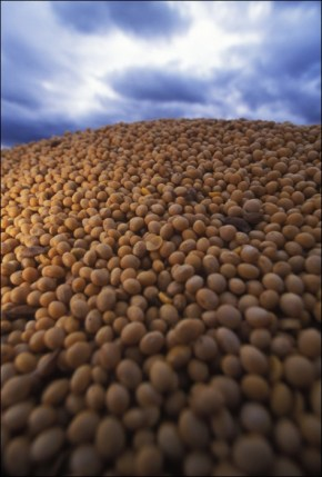 These organic soybeans, by happenstance, were grown in the US and are being prepared to ship to China.