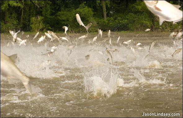 asian carp eDNA Lake Erie