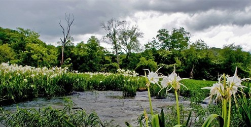 Spider lilies fill the banks of the upper Flint River, near Thomaston, Georgia. Alabama and Florida also share the river basin, which the three states have quarreled over for more than two decades.