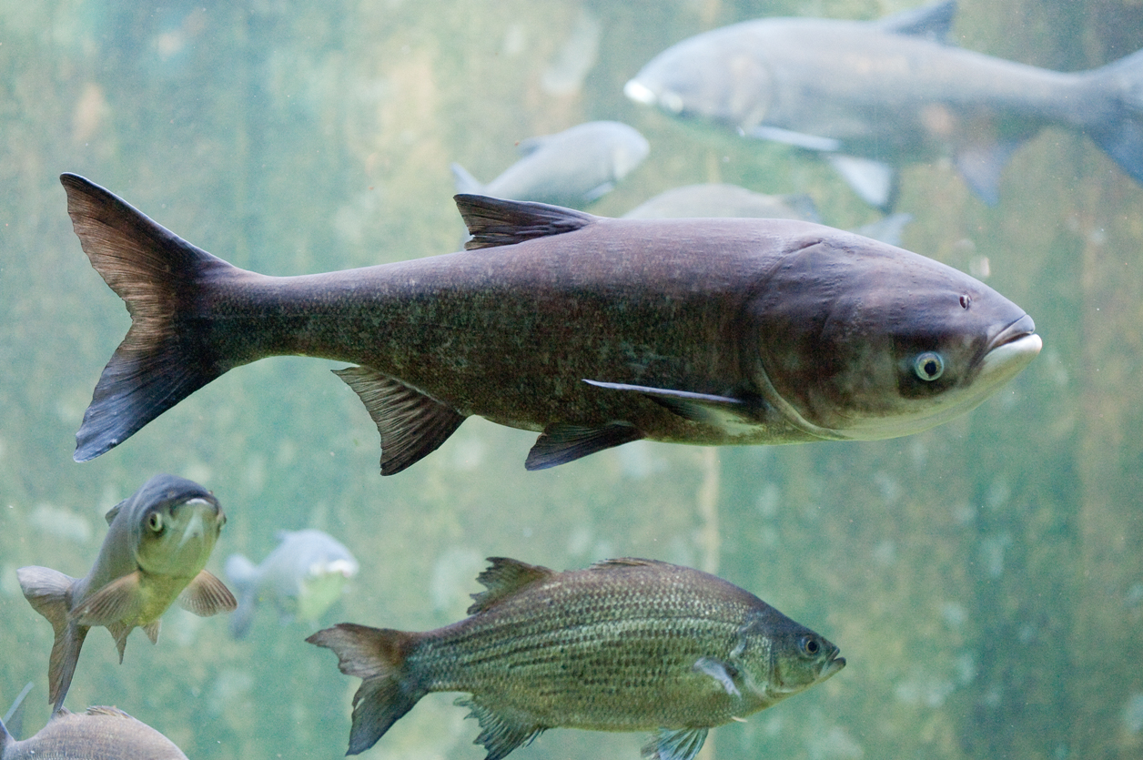 asian carp would significantly alter but not destroy