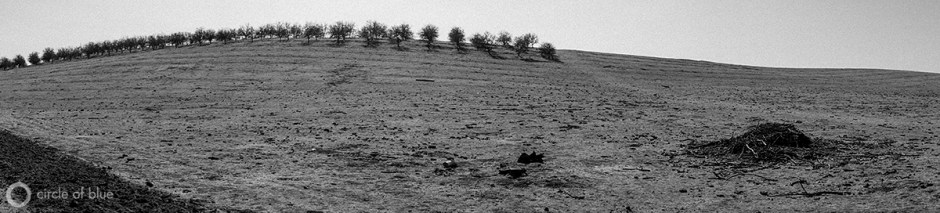 A dead almond orchard in California's Central Valley.