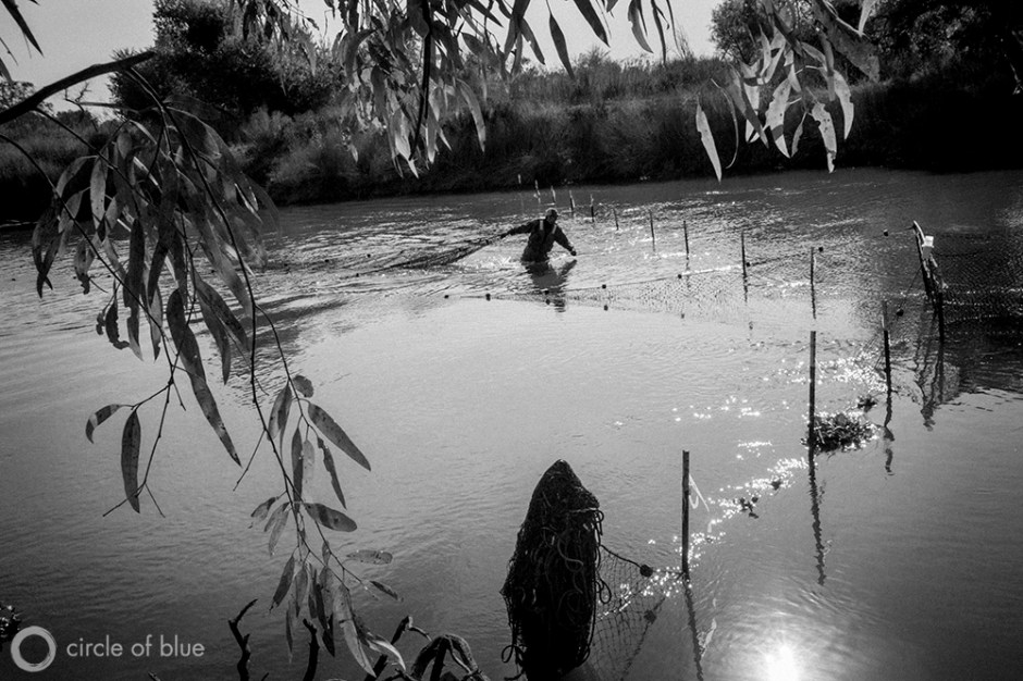 """Bureau of Reclamation Fisheries Biologist Zak Sutphin checks a fish trap set in the San Joaquin River near the town of Newman in California's Central Valley. The trap, also known as a """"Fyke Net,"""" is used to catch salmon so they can be transported upstream by truck, bypassing obstacles, on their way to their historic spawning grounds near Fresno in the Sierra Nevada mountains."""