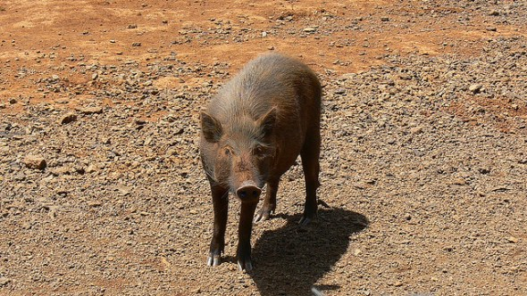 Hawaii Kauai feral pig forests watershed invasive species water