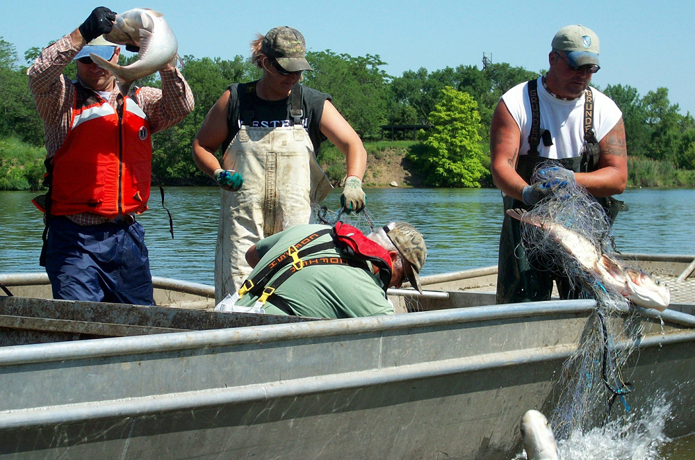 Several species of Asian carp are proliferating throughout the Mississippi River Basin in North America. Unlike the common carp in Australia, no virus is known to exclusively target Asian carp. Photo courtesy Nicole Roach/ U.S. Army via Flickr Creative Commons