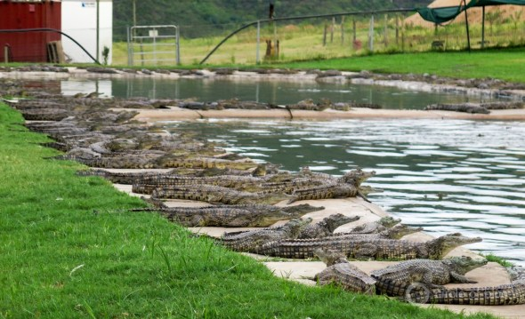 South Africa Pongola Metcroc crocodile farm drought