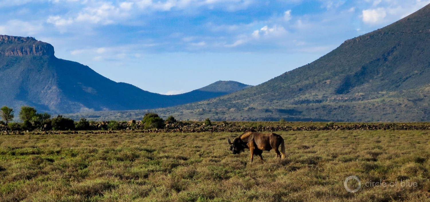 A wildebeest grazes in a broad valley west of Graaff-Reinet in the Eastern Cape. Photo © Keith Schneider / Circle of Blue