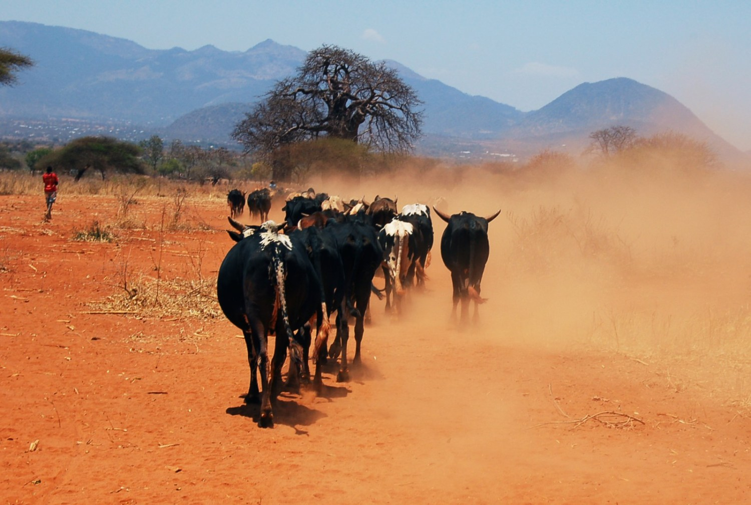 Cattle raise a dust cloud near Kongwa, Tanzania. Some cattle farmers within the country's Southern Agricultural Growth Corridor say they are being forcibly evicted from their land. Photo courtesy BCClimateChampions via Flickr Creative Commons