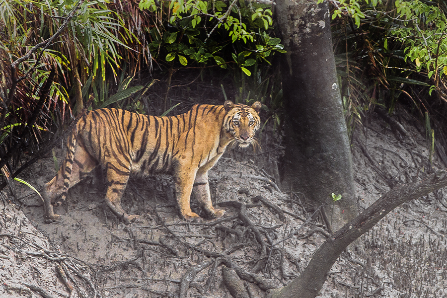 The Sundarbans mangrove forest and wetland is habitat for rare Bengal tigers.