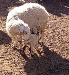 circle of hope, philadelphia, circle of hope, sheep, connection, first sheep, mcc