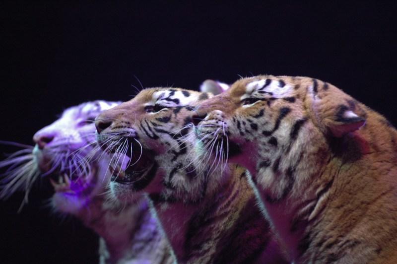 Tigres du Bengale par François Dehurtevent, photographe