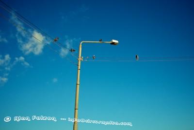 Pigeon Poles