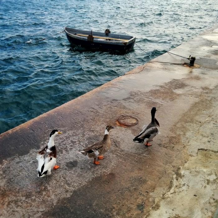 Ducks walking around