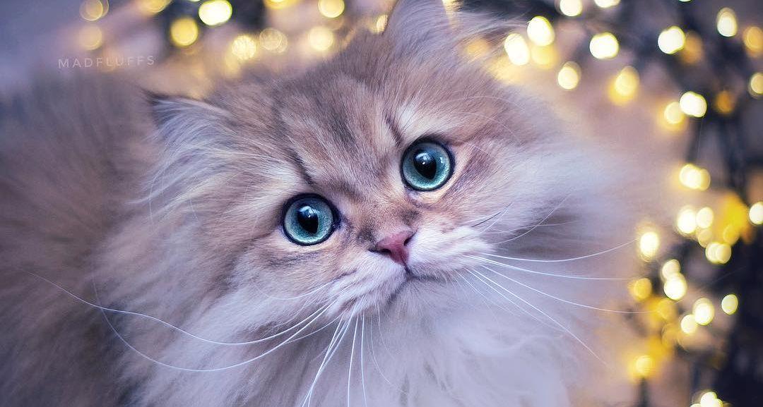 Ünnepi fények perzsa macskával