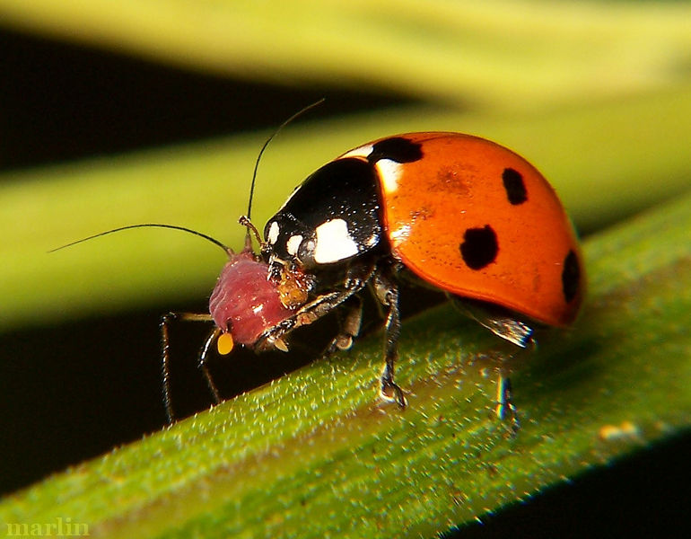 Seven-Spotted Lady Beetle eats an Aphid
