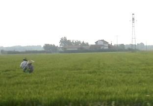 ricepaddy