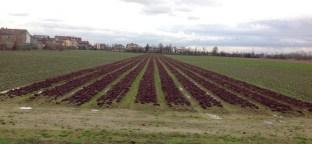 salad_field