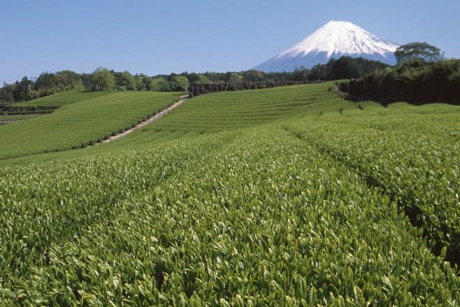 静岡県 富士市 富士山の見える茶畑