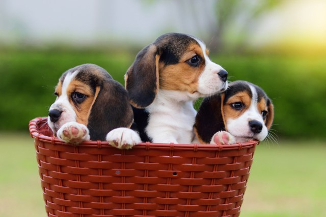 beagle puppy food chart