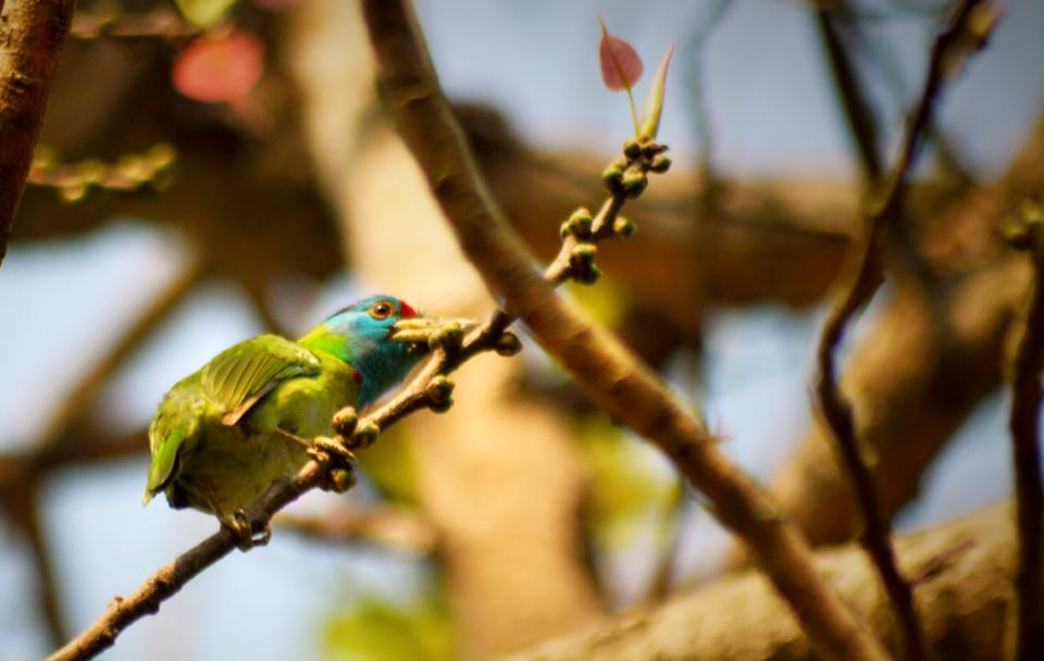 Blue throated barbet near Begnas Lake Lekhnath Bird Watching and Eco Tourism Society