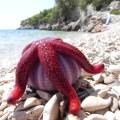 red seastar on sea urchin house, Uvala Rapak