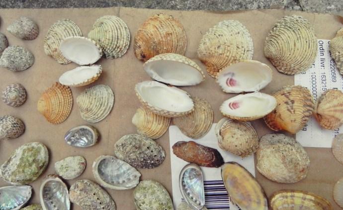 edible cockles & haliotis earshells