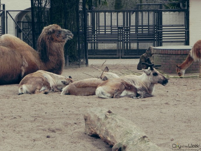 camels and reindeer chilling at Artis Zoo
