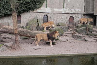 lions at Artis Zoo