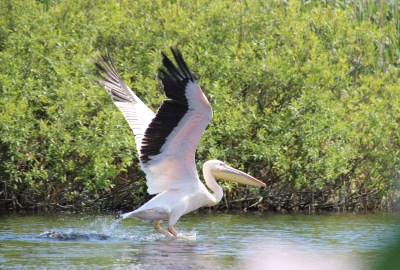 Great White Pelican, Danube Delta