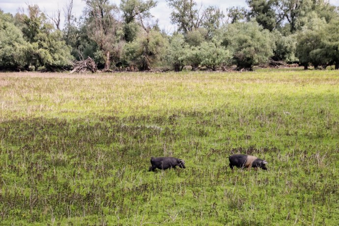 Pigs in the Danube Delta