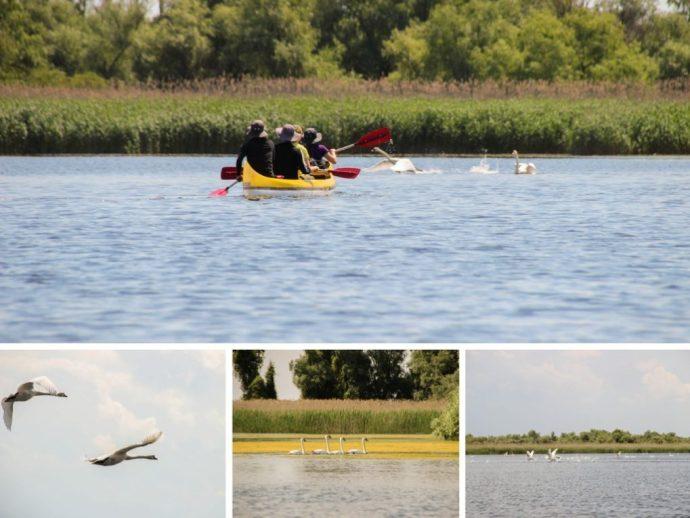 Swans in the Danube Delta, Romania