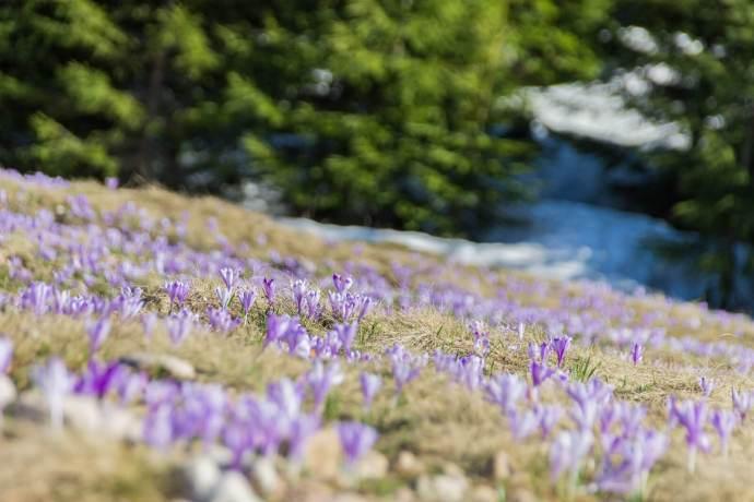 Padis Crocus Fields, Apuseni Mountains, Western Carpathians