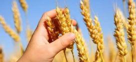 Arribaron al país más de 100 mil toneladas de trigo panadero y maíz blanco