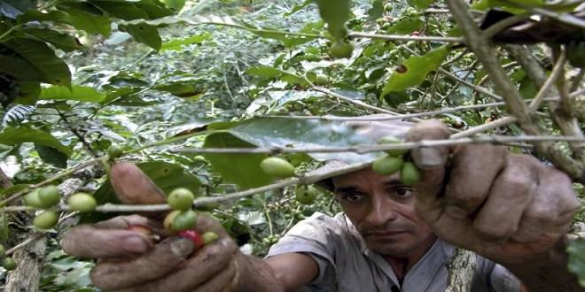 Motor Exportador venezolano envía 150 toneladas de café verde natural hacia Cuba