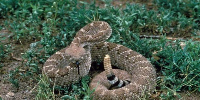 Serpiente cascabel usa truco para parecer más peligrosa en caso de amenaza
