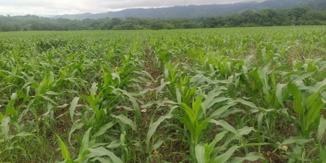 LARA: Comuna El Maizal siembra 300 hectáreas de maíz dentro del Plan Excepcional de producción de la JPSUV