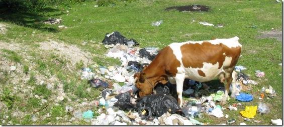 ce vaca esti!