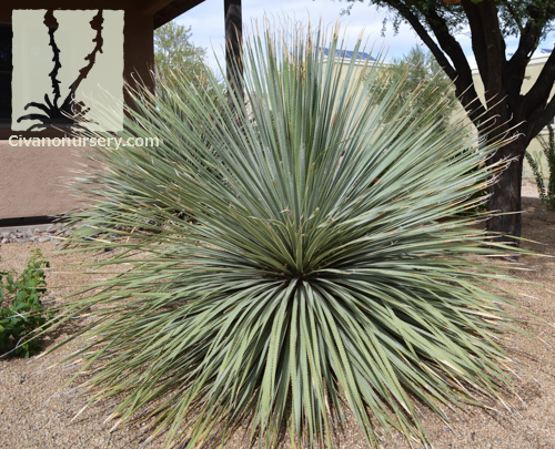 Desert Spoon Dasylirion Wheeleri Civano Nursery