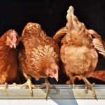 PRELIMINARY ISSUES, WITNESS CREDIBILITY AND SUMMARY JUDGMENT:  WHEN THE DEFENDANTS' CHICKENS COME HOME TO ROOST...