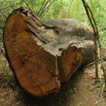 COVID REPEATS 32: EXPERTS: SEEING THE WOOD FOR THE TREES: THE EXPERT THAT DIDN'T BOUGH DOWN TO THE RULES...