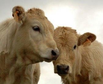 Deux bovins - tendresse