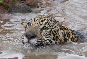 Jaguar swimming.jpg