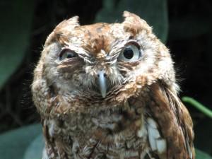 angry_owl