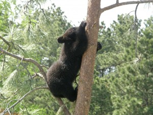 Bear in a tree